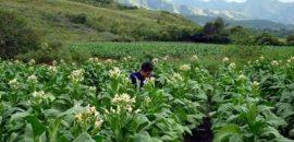 Cronograma de pago de la cuota del Tabaco Rural del programa Intercosecha