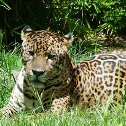 Declararon Sitios de Importancia para la Conservación del Yaguareté