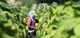 Productores cobrarán el Fondo Especial del Tabaco