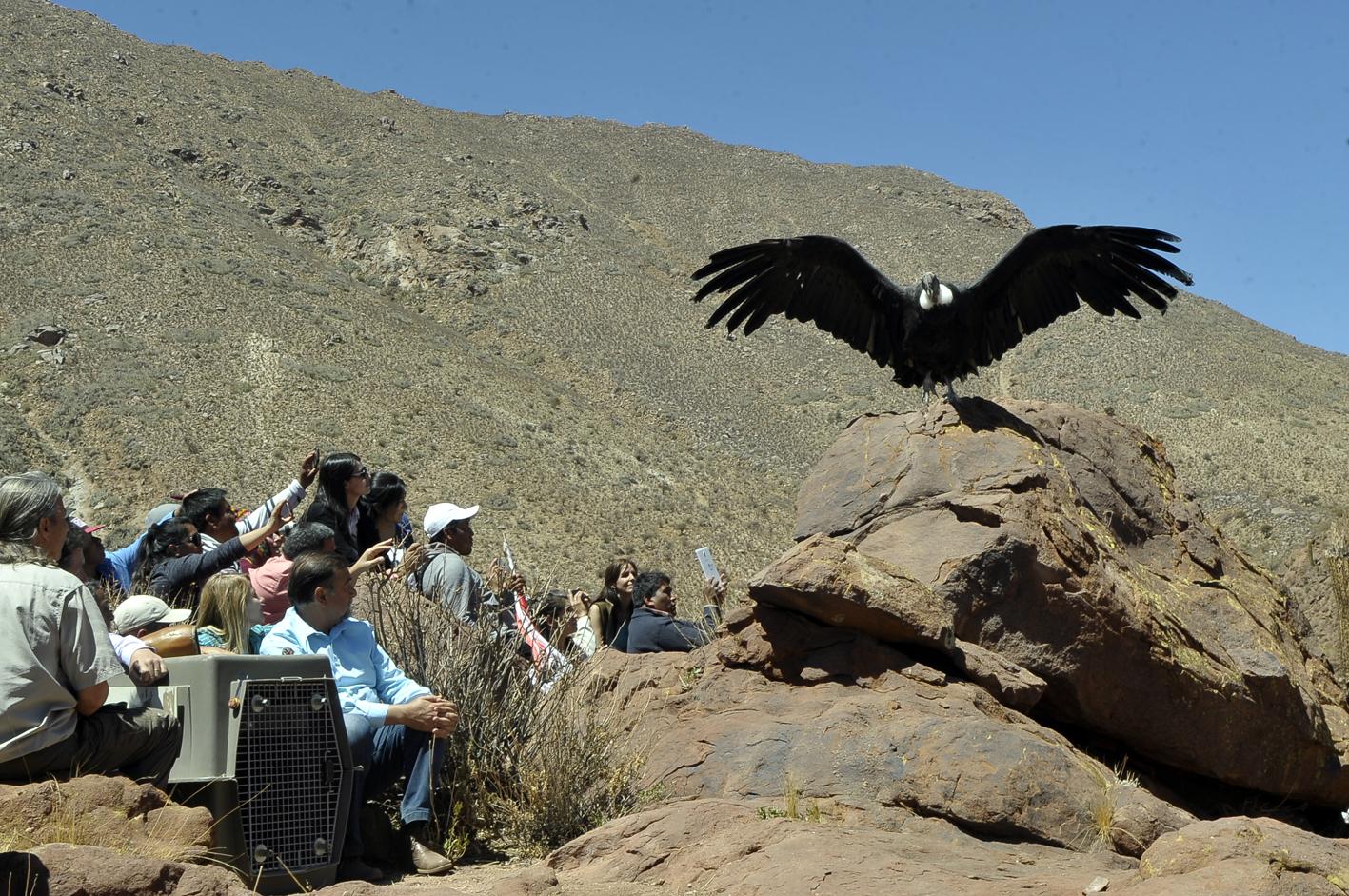 El cóndor «Luracatao» fue liberado en Seclantás