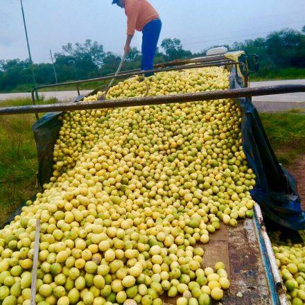 Decomisaron 27 toneladas de limones en El Quebrachal