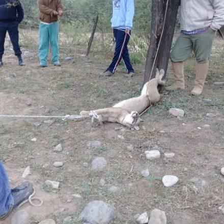 Rescatan a un puma que se encontraba en cautiverio