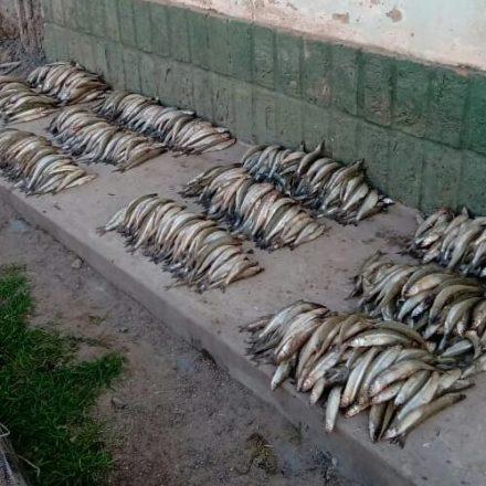 Continúa la pesca indiscriminada, incautan pejerreyes en Talapampa