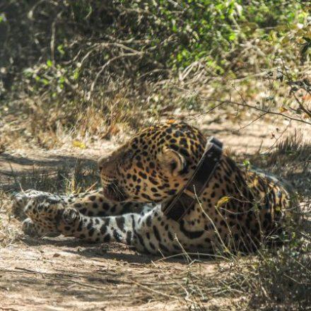 Captura para monitoreo de yaguareté en el Parque Nacional El Impenetrable