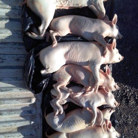 Decomisan carne porcina que eran transportada sin respetar la medidas mínimas de higiene y conservación