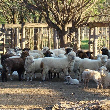 Hasta el 10 de junio podrán presentarse proyectos productivos para acceder a aportes no reintegrables y reintegrables de las actividades ovina y caprina